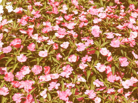 solomon: Vintage looking Impatiens plant in the family Balsaminaceae native to Papua New Guinea and Solomon Islands Stock Photo