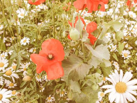 genus: Vintage looking Papaver flower genus of the poppy family Papaveraceae