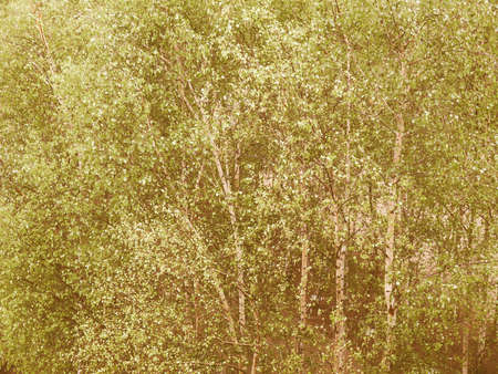 Vintage looking Birch tree (of the genus Betula, Betulaceae, Fagaceae) - useful as a background Stock Photo