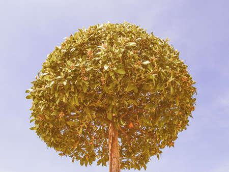 nobilis: Vintage looking Laurel Bay Tree scientific name Laurus Nobilis Stock Photo