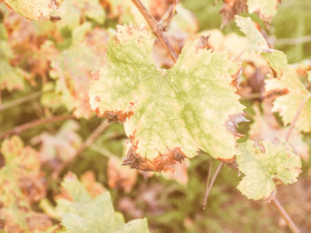 focus on the foreground: Vintage looking Leaf of vitis plant in a grapevine - selective focus on single leaf on the foreground