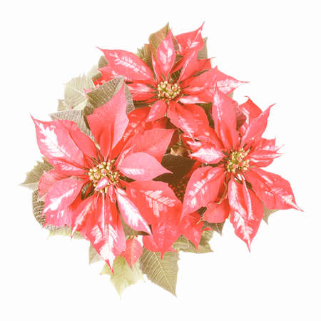 pulcherrima: Vintage looking Euphorbia Pulcherrima aka Christmas Star or Poinsettia flower isolated over white background useful for greeting cards