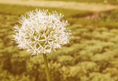 onion flowers: Vintage looking Allium Karataviense ornamental onion flowers aka Ivory Queen
