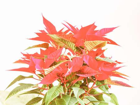 pulcherrima: Vintage looking Red Christmas star Poinsettia Euphorbia pulcherrima flower - vibrant bright pop colours Stock Photo