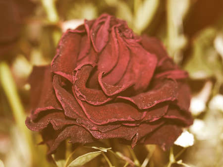 decaying: Vintage looking A decaying purple rose flower - selective focus