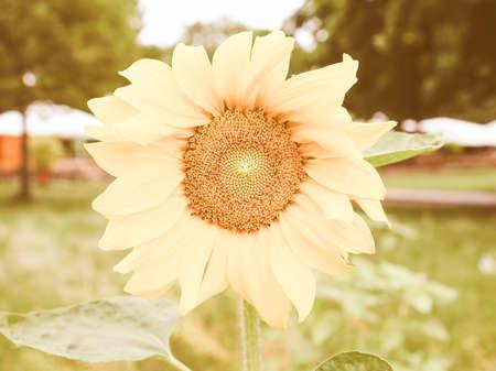 helianthus: Vintage looking Yellow Helianthus Annuus Sunflower flower