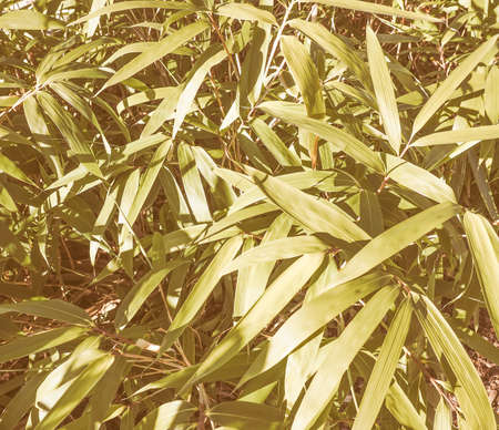 perennial: Vintage looking Bamboo flowering perennial evergreen plant in the grass family Poaceae