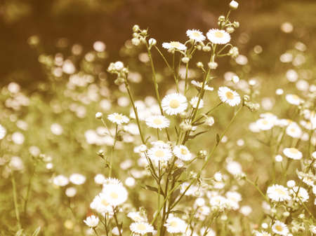 Vintage looking Detail of daisy flower or bellis perennis Stock Photo