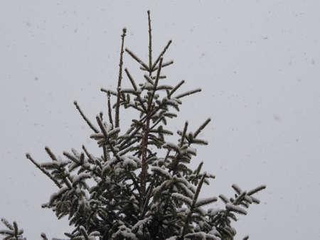 snowing: Winter scene snowing on a pine tree - copy space
