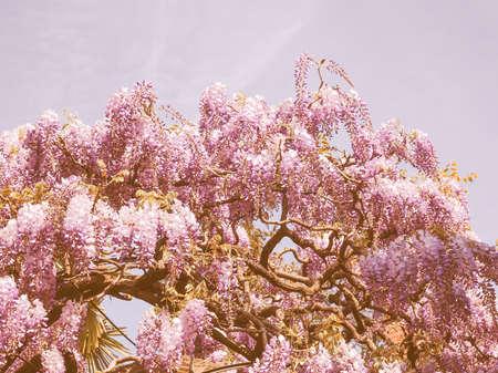 wistaria: Vintage looking Violet Wisteria aka Wistaria or Wysteria flowers