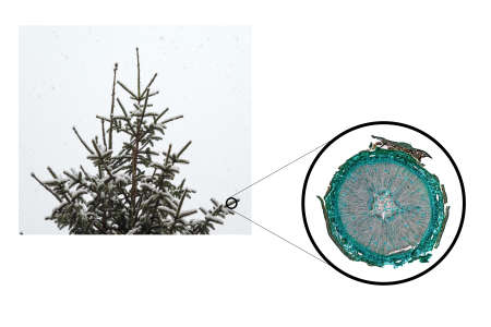 cs: High resolution light photomicrograph of pine tree wood cross section seen through a microscope