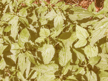 Vintage looking Urtica dioica aka stinging nettle or common nettle herbaceous perennial plant