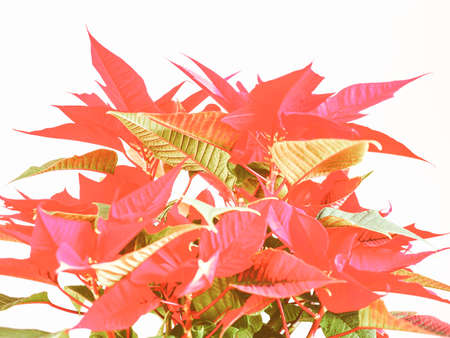 pulcherrima: Vintage looking Red Christmas star Poinsettia Euphorbia pulcherrima flower - vibrant bright pop colours Stock Photo