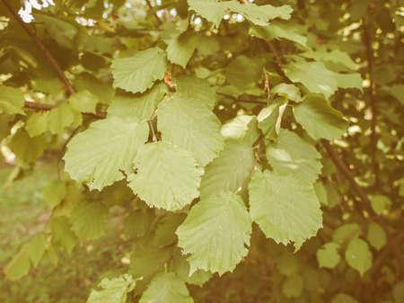 albero nocciola: Vintage cercando foglia di un albero di nocciolo aka Corylus