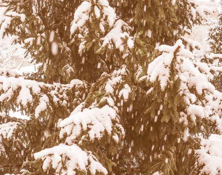 genus: Vintage looking Pine tree coniferous plant in the genus of Pinus covered in snow in winter Stock Photo