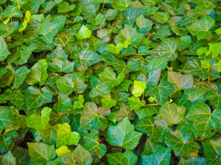 ivy: Green ivy leaves useful as a background Stock Photo