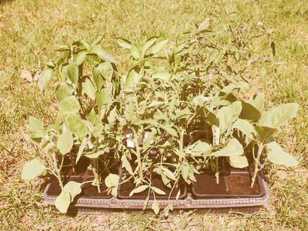 grown: Vintage looking Plug plants small seedlings grown in trays Stock Photo