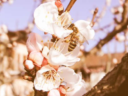 fetching: Vintage looking Bee fetching nectar from an apricot fruit tree flower Stock Photo