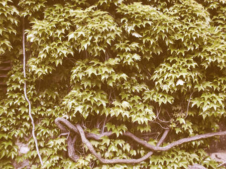 Hintergrund: Vintage looking Green leaves greenery useful as a background