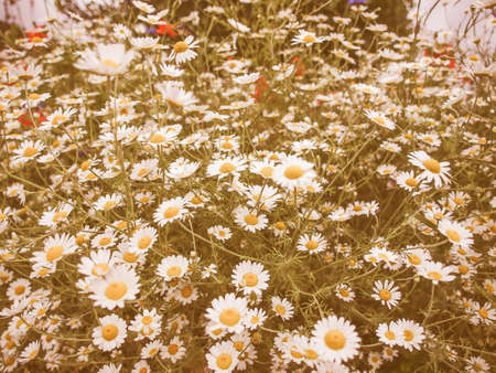 asteraceae: Vintage looking Chamomile camomile daisy flower of family Asteraceae
