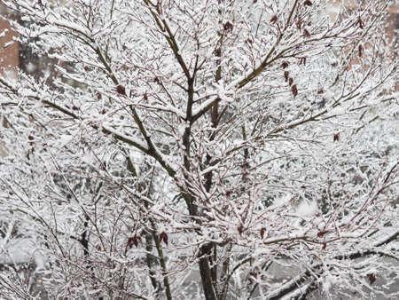 snowing: Winter scene snowing on a maple tree Stock Photo