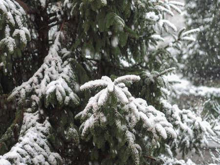 snowing: Winter scene snowing on a pine tree
