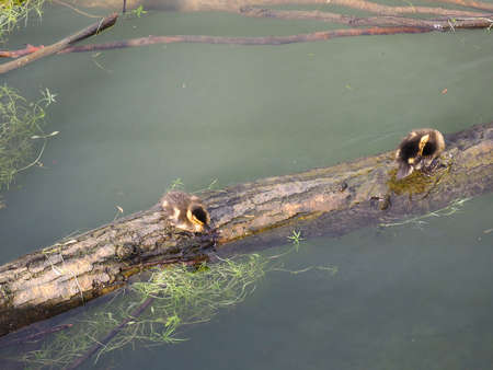 backwater: Baby Duck birds on a trunk floating in a river backwater