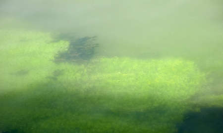 green algae: Green Algae under water in a river