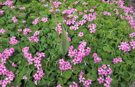 sour clover: Violet wood sorrel (Oxalis violacea) perennial plant and herb in the Oxalidaceae family