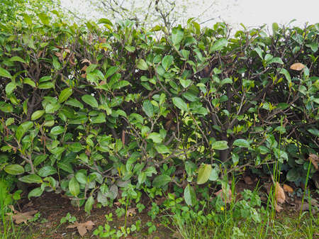 shrubs: Hedge aka hedgerow green shrubs leaves barrier