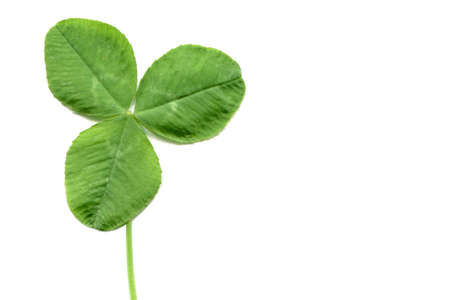 trifolium: Shamrock three leafed clover trifolium plan with copy space over white background Stock Photo