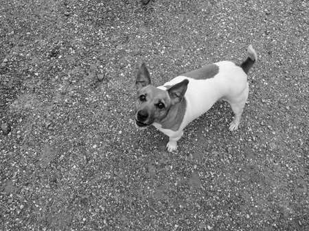 familiaris: Domestic dog aka Canis lupus familiaris mammal animal seen from above in backyard with gravel background with copy space in black and white Stock Photo