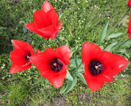 plantae: Red Tulips (Tulipa gesneriana) flowers close view Stock Photo