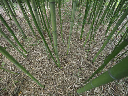 plantae: Perspective view of green Bamboo (Bambuseae) trees useful as a background Stock Photo
