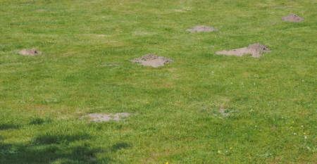 animal mole: Many mole holes in a meadow grass