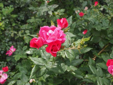 genus: Red Rose perennial shrub (genus Rosa) flower