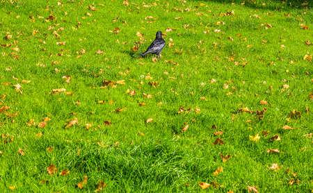 corvidae: High dynamic range HDR Black crow (Corvus of family Corvidae) bird animal in a meadow Stock Photo