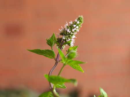 peppermint: Peppermint (Mentha x piperita) aka M balsamea Willd plant - Focus on flowers, blurred background Stock Photo