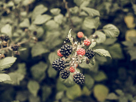 rubus: Vintage desaturated Blackberry (Rubus fruticosus) fruits, healthy vegetarian food