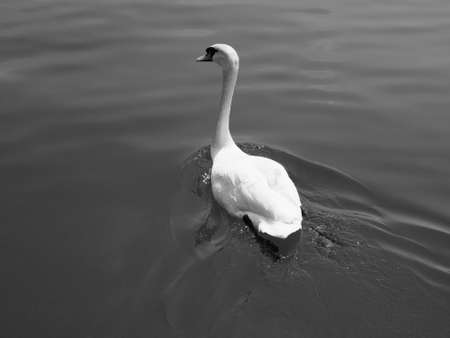 swimming bird: White Swan aka Cygnus bird animal swimming in a lake in black and white Stock Photo