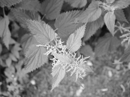 urtica: Nettle (Urtica Dioica) aka Stinging Nettle plant in black and white Stock Photo