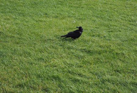 corvidae: Crow (Corvus of family Corvidae) bird animal in a meadow with copy space Stock Photo