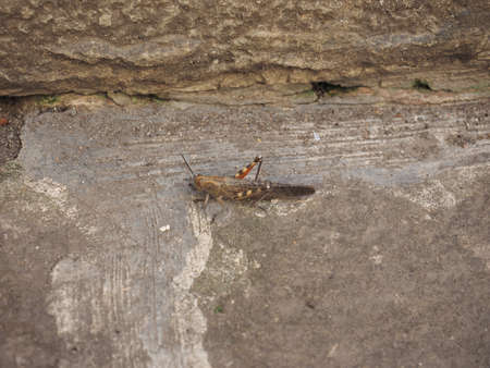 caelifera: Grasshopper (Orthoptera Caelifera) insect animal on a wall Stock Photo