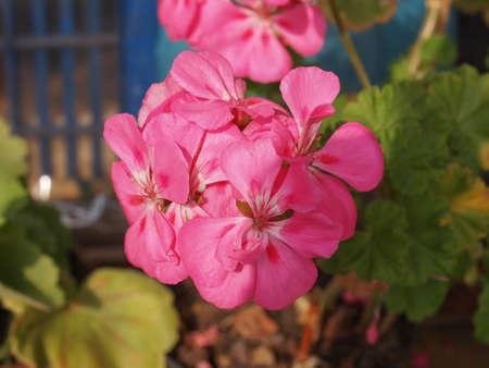 cranesbill: Pink Geranium (Geraniales) aka cranesbill flower detail Stock Photo