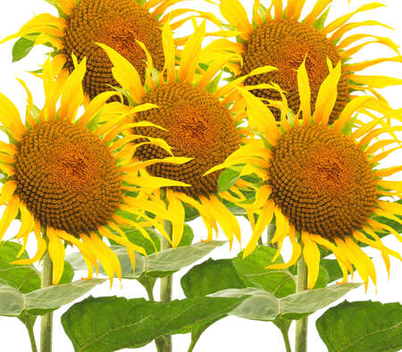 helianthus: Many Yellow Helianthus Annuus flowers commonly known as Sunflowers Stock Photo