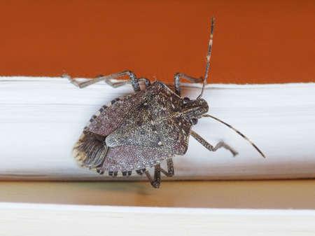 pentatomidae: Brown marmorated stink bug (Halyomorpha halys) insect animal