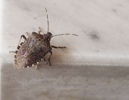 Brown marmorated stink bug (Halyomorpha halys) insect animal