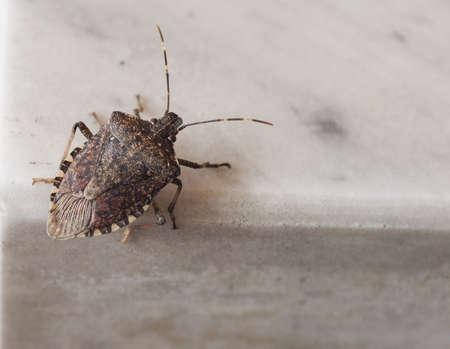 Brown marmorated stink bug (Halyomorpha halys) insect animal