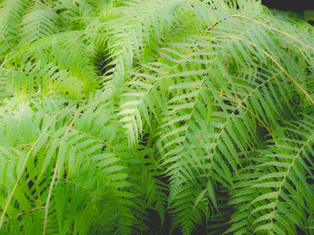 Fern leaves (Pteridophyta) useful as a background, dreamy faded look Stock Photo