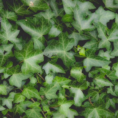 Green ivy plants useful as a background, dreamy faded look